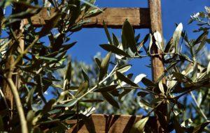 Olivi giardino provenzale