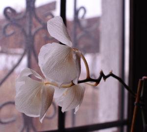 orchidea con fiori appassiti